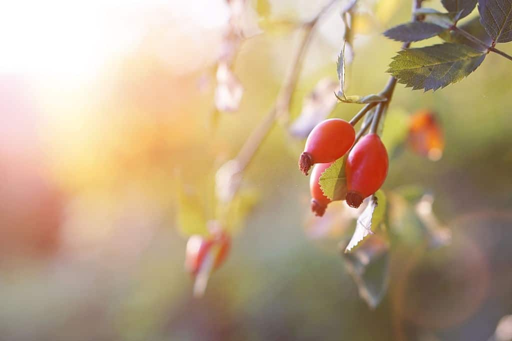 Branch of ripe rose hip in sunlight
